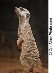 Small meerkat or suricate (Suricata suricatta)