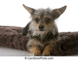 small mixed breed dog - chihuahua crossed with yorkie mixed...