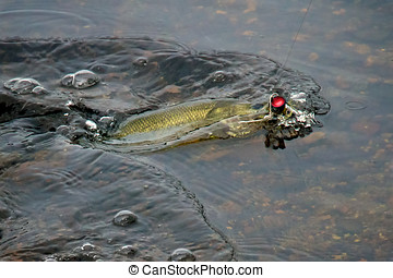 small mouth bass striking popper - Small mouth Bass striking...