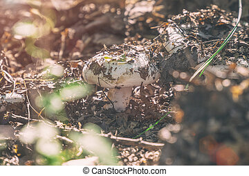 Small mushroom of white color in the old fallen foliage