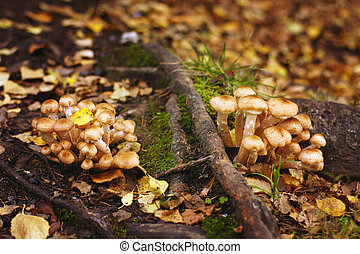 Small mushrooms grow in autumn on the roots of the old tree