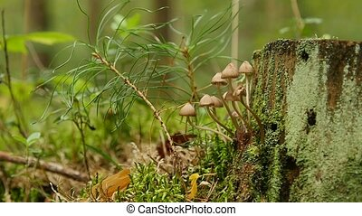Small mushrooms mitseny on fallen trees - A large family of ...