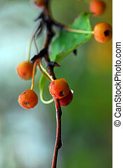 Small orange berries