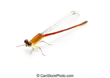 small orange dragonfly
