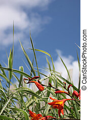 Small Orange Iris