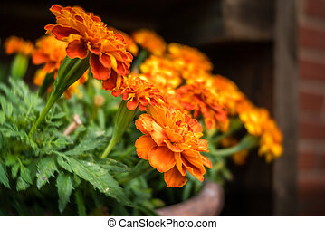 Small orange marigold flowers