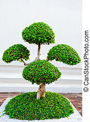small ornamental trimmed tree in a pot on the street of...