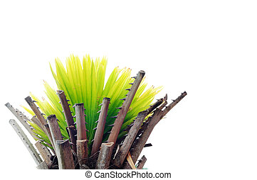 Small palm tree on white background