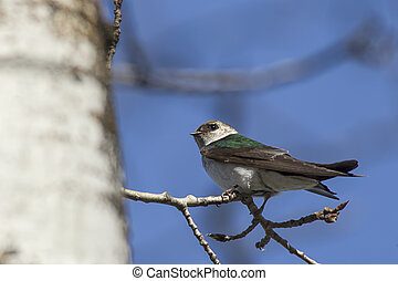 Small perched tree swallow.