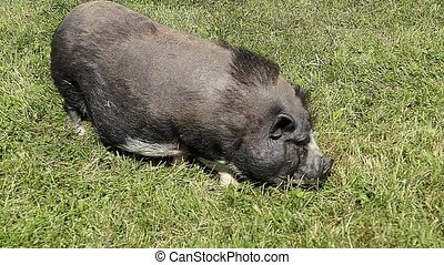 Small pig eating grass.