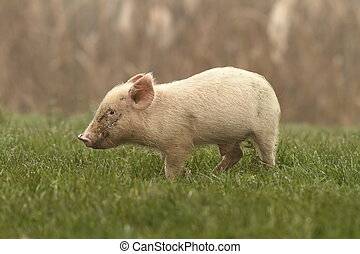 small pig on lawn