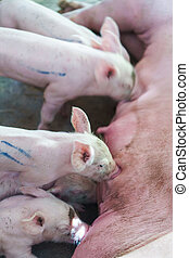 Small piglet drinking milk from breast of his mother in the farm