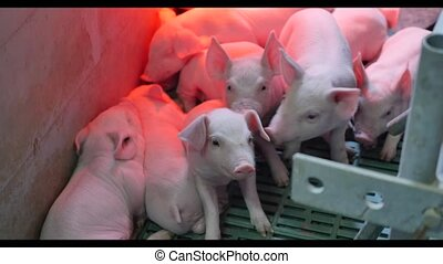 small pigs in the farm.