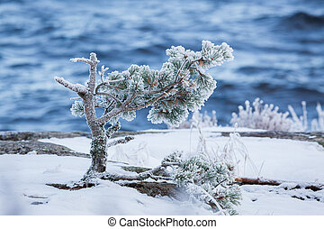 Small pine tree frozen in lake shore at cold winter morning