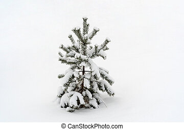 Small pine tree in a snow