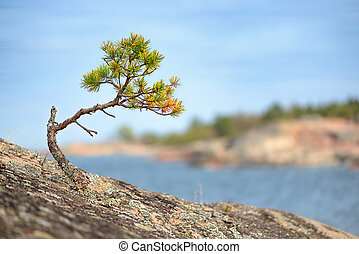 Small Pine tree on a rock