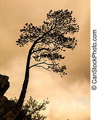 Small pine tree silhouette
