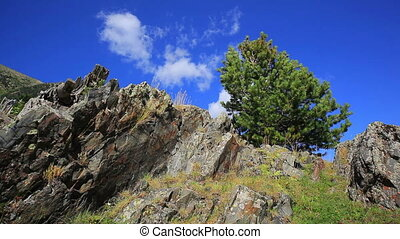 Small pine tree.