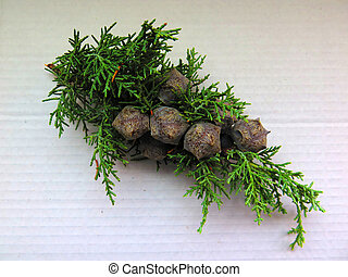 Small Pine twig with cones
