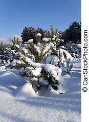 small pine , winter