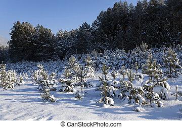 small pine, winter