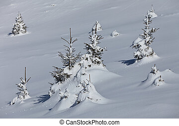 small pines in winter