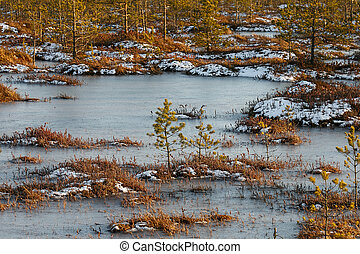 Small pines on a swamp in winter