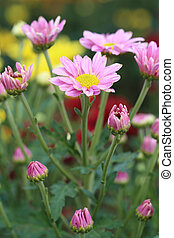 small pink chrysanthemums flowers in the garden