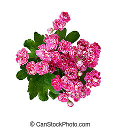 Small pink flowers of hawthorn