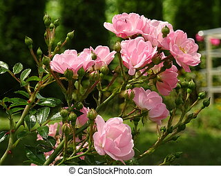 Small Pink Roses Bush in a Green Garden