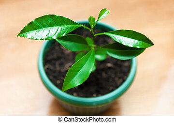 plant in a flower pot. lemon Tree