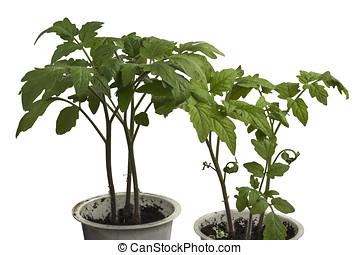 Small plant tomato