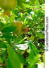 small pomegranate on a tree