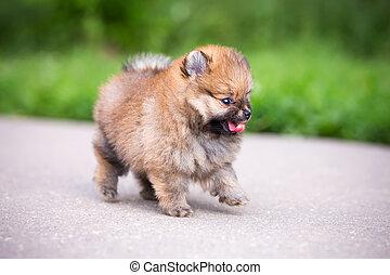 Small Pomeranian puppy walking on the asphalt road