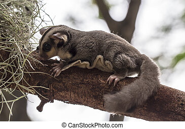 small possum or Sugar Glide on tree