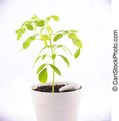 Small potted moringa plant (Moringa oleifera Lam.) isolated on white