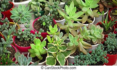 Small Potted Plants and Succulents in a Garden Shop - Many...