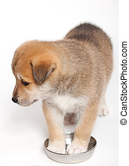 Small pudgy - Small, pudgy puppy huskies and akita, a ...