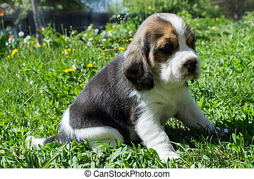 Small puppy Beagle sitting in grass close-up