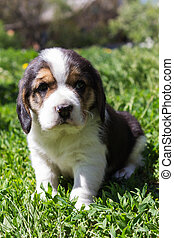 small purebred puppy sitting in the grass.