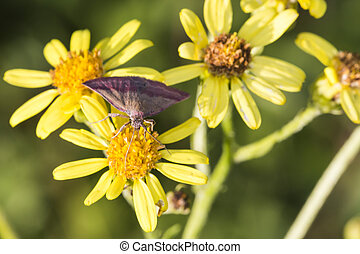 A small purple-barred on a benweed-flower