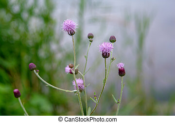 Small purple flowers of milk Thistle