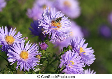 Small purple violet chrysanthemums in an autumn garden with bee on them. Chrysanthemum violet flowers blooming in a garden. Beauty autumn flowers art design. Bright vivid colors. Autumn flowers