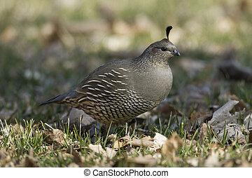 Small quail in a park.