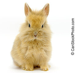 Small  rabbit  - Small brown rabbit isolated on white