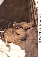 Small Rattlesnake Suns itself on top of burrow