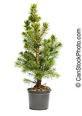 Small, real undecorated bare Christmas tree in a pot