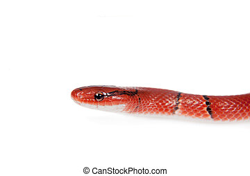Small red bamboo snake isolated on white - Small red bamboo...