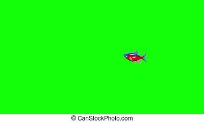 Small Red-blue striped Aquarium Fish Chroma Key - Small...
