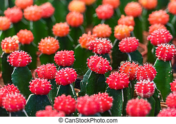Small red cactus.